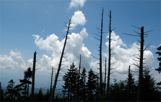 Dead Fraser Firs, Great Smoky Mountains National Park